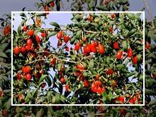 Тибетская ягода Годжи ягода применение